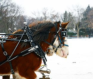 Horses pulling sleigh in winter